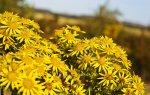 Żółte kwiaty, fototapeta